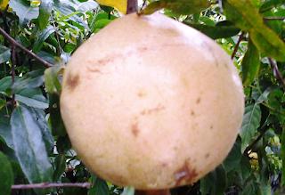 3 manfaat buah delima atasi penyakit picture