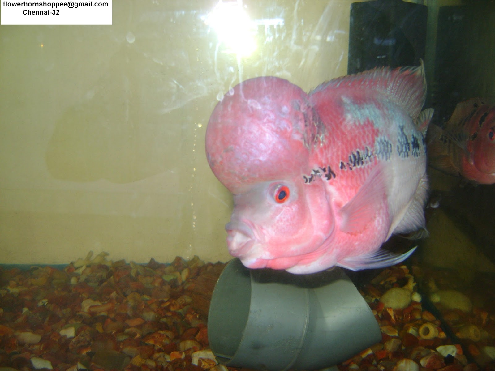 flowerhornshoppee: Master class flowerhorn with HUGH Hump Head