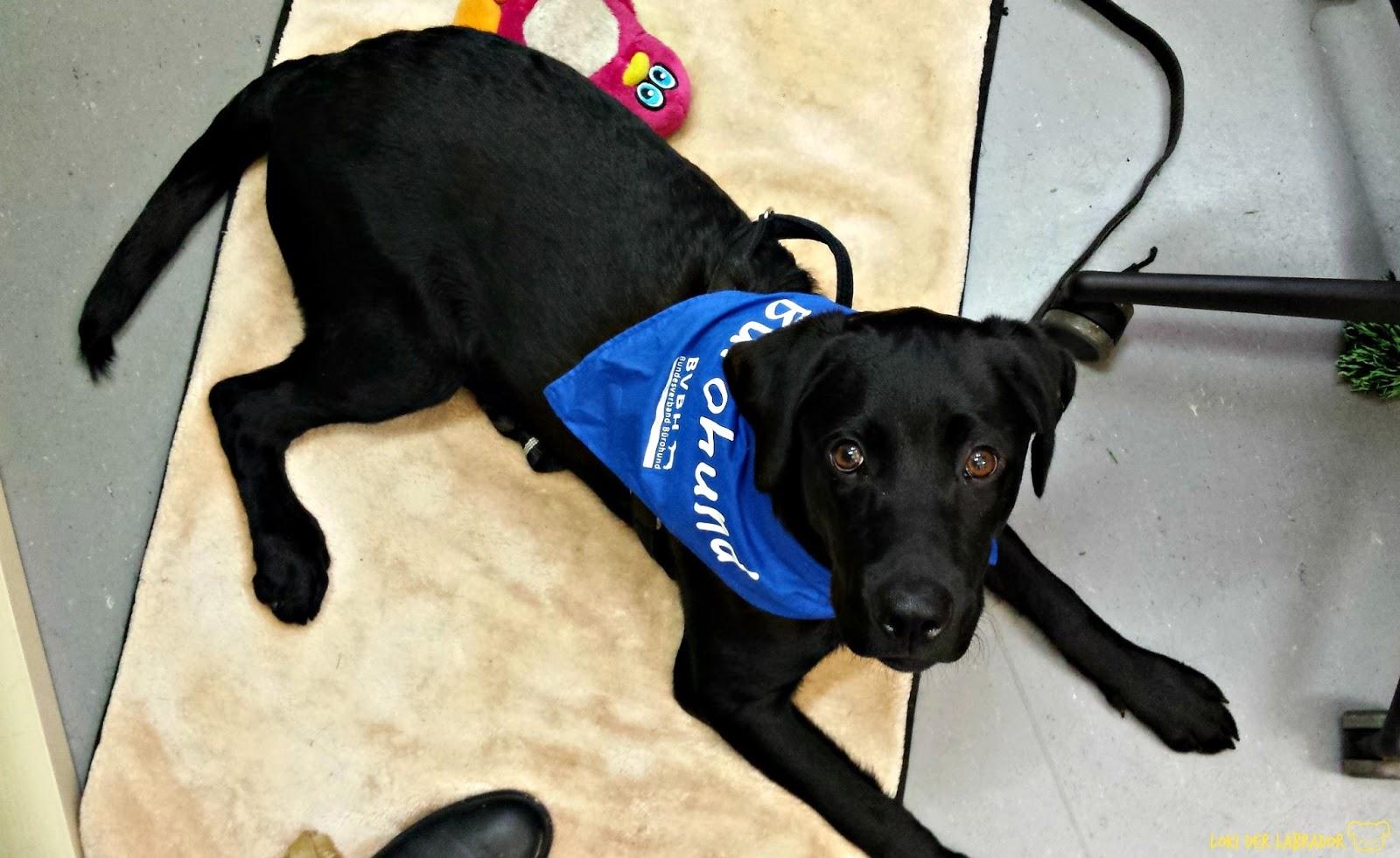 Schwarzer Labrador Loki im Büro