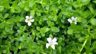remedios caseros brahmi para mejorar memoria
