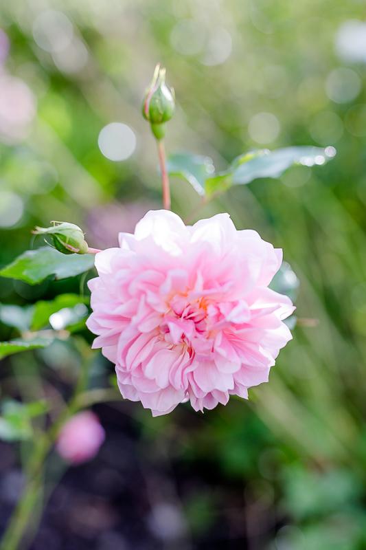 Mein Garten im September, Pomponetti, die letzten Rosen im Herbst, Anne Boleyn