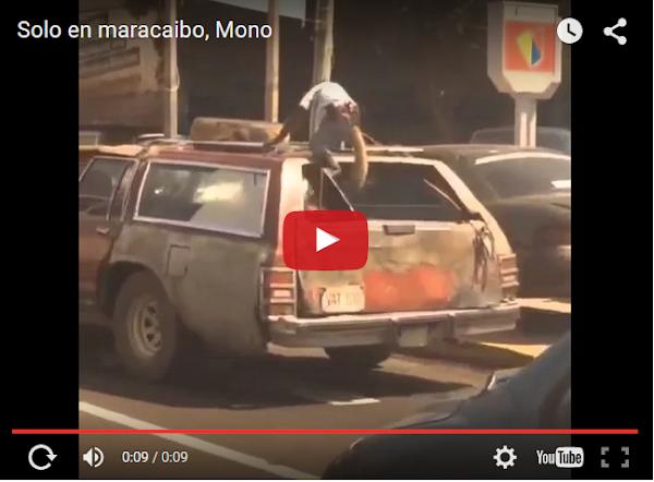 Un mono de Jumanji en una ranchera en Maracaibo