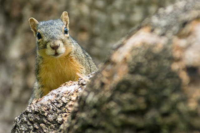 Fox Squirrel, Post Oak Park