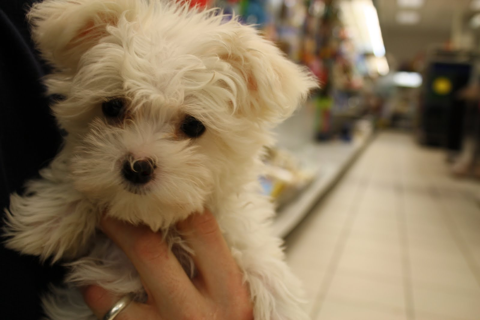 fluffy miniature dogs - photo #17