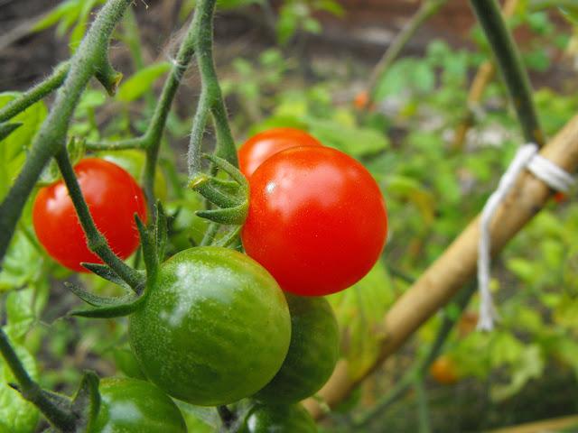 Khasiat Dan Manfaat Tomat Yang Tersembunyi