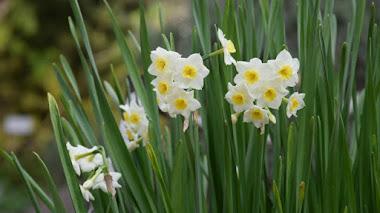 Narcissus tazetta: en el origen de los narcisos del Grupo Tazetta