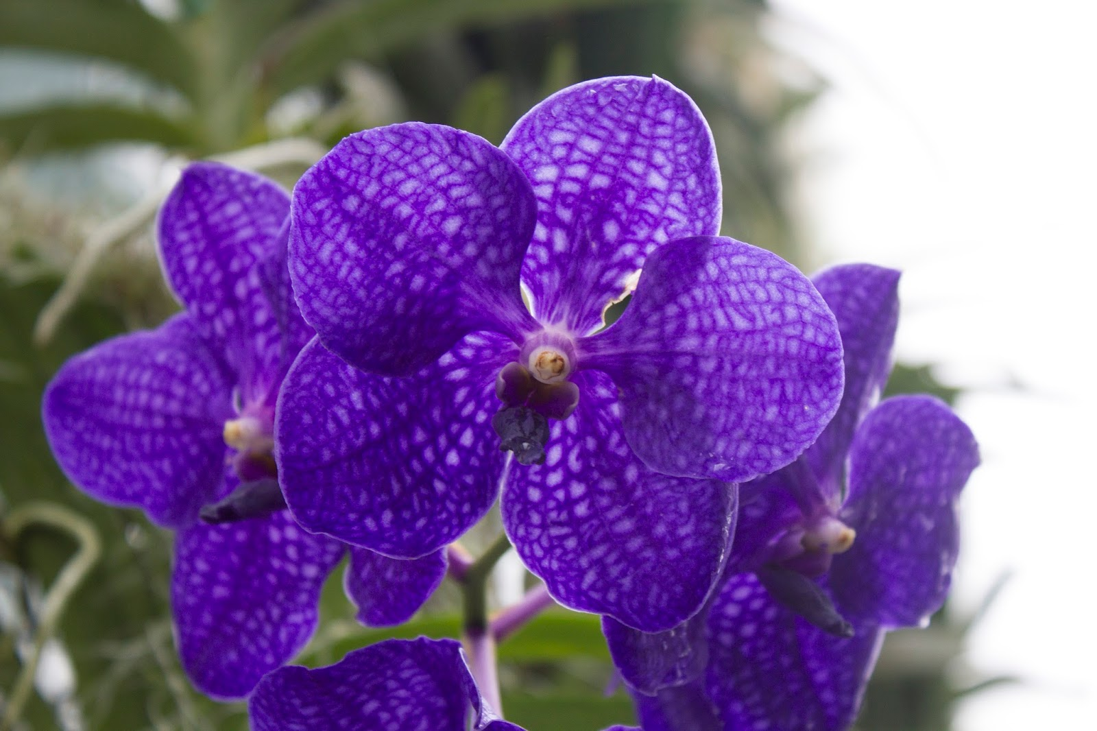 Maria S Orchids A Classic Blue Orchid Vanda Pachara Delight