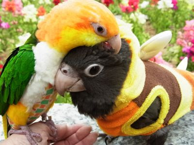 Caique Parrots: The Parrot With Humour And Intelligence