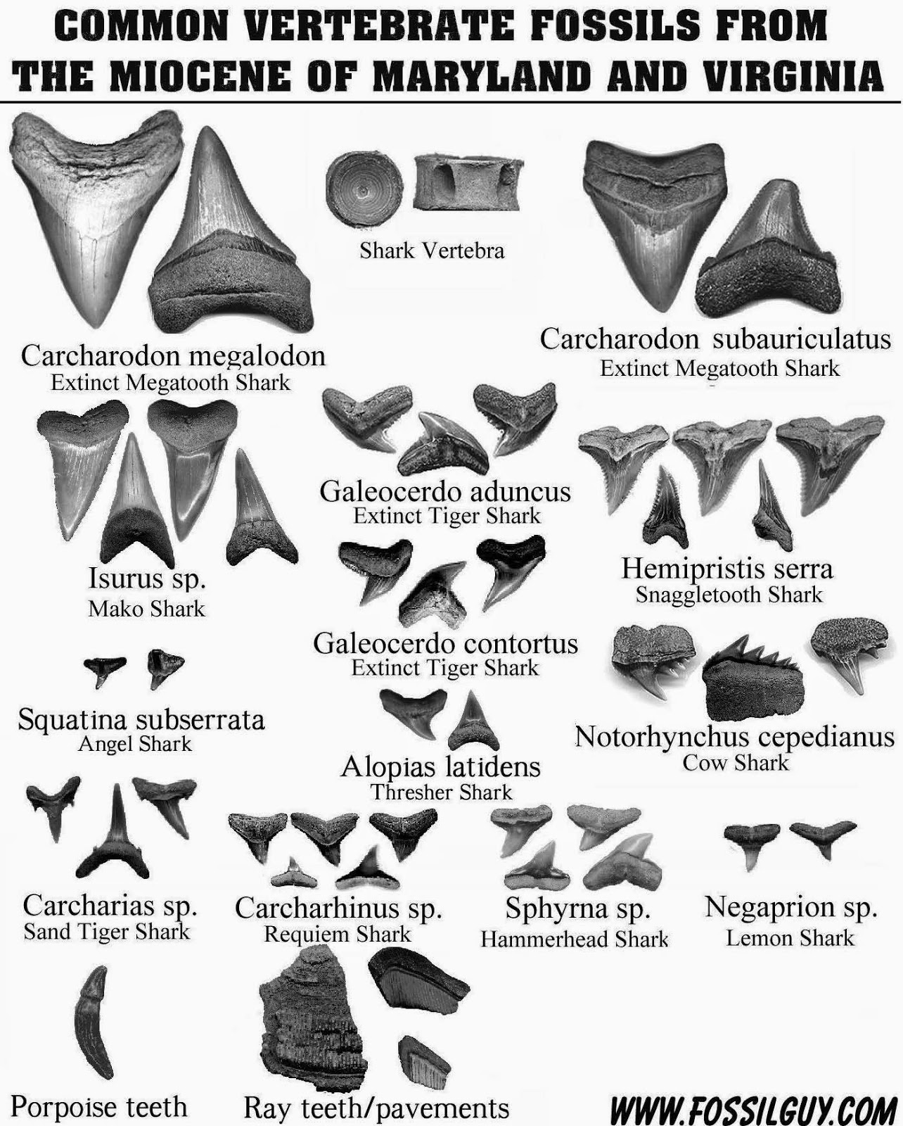 Coasting the Lowcountry: Beach Walk-Shark Teeth