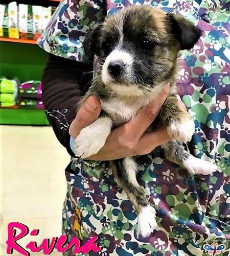 cachorra talla miniatura