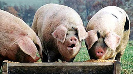 Image result for greedy pigs at the trough