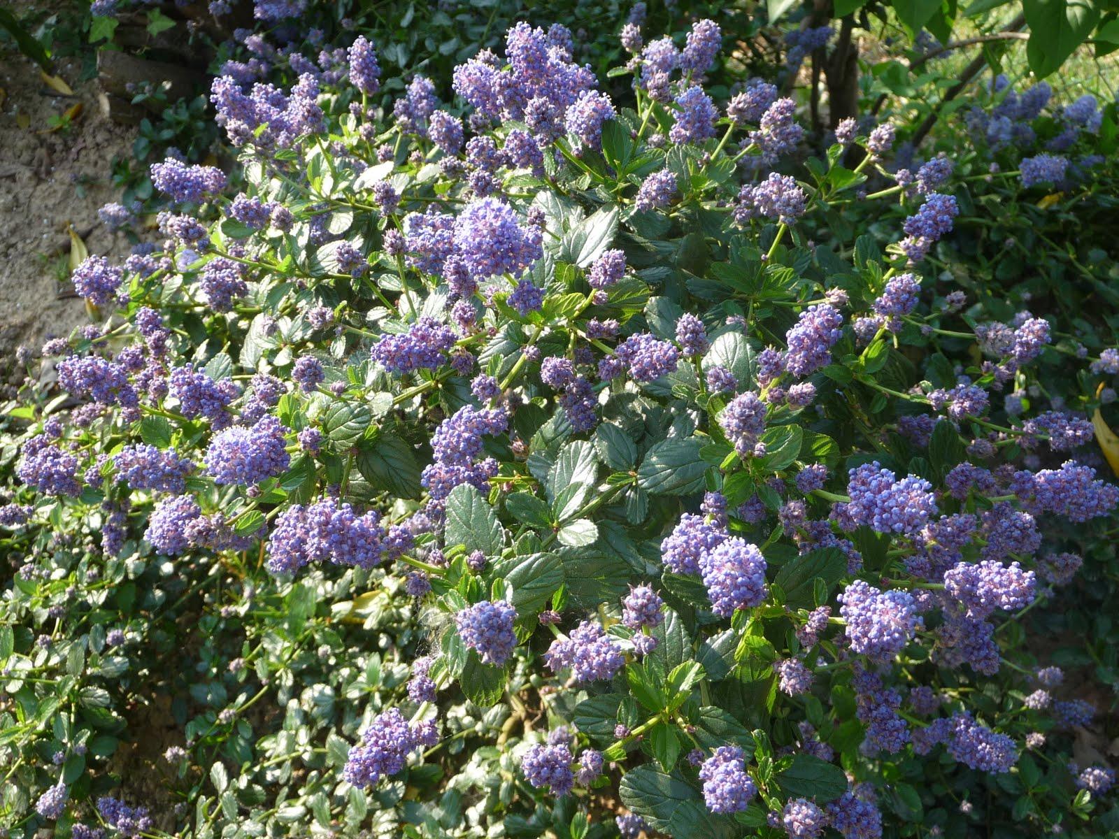 Ma terre de bruy re plantations de la haie plein sud - Arbustes fleurs bleues feuillage persistant ...