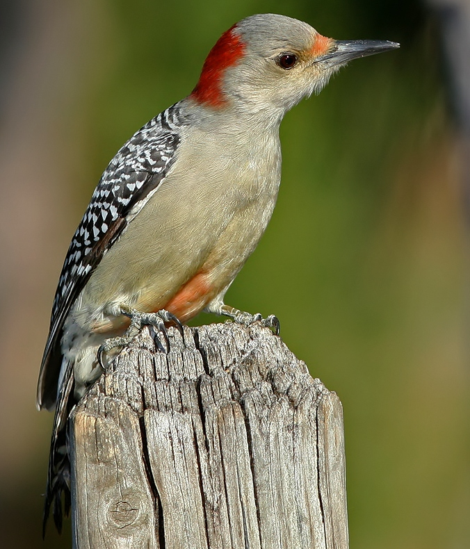 Birds Of The World Red Bellied Woodpecker