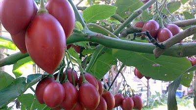 Tìm hiểu về cà chua Tamarillo đang gây sốt trên thị trường