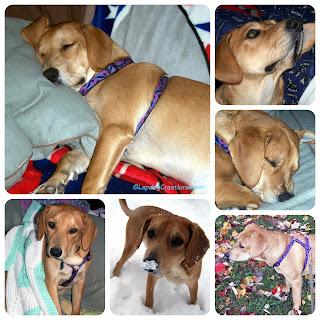 puppy dog rescue adopt hound golden lab