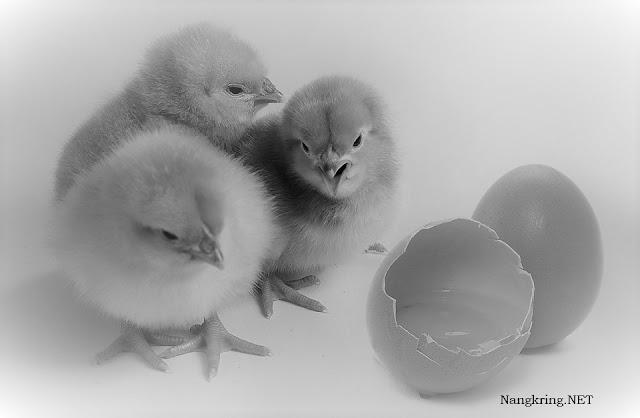 """Penjelasan ayam dulu apa telur dulu menurut Alquran di atas sesuai juga dengan hasil riset Australian Academy of Science pada baru-baru ini yang hasilnya menyebutkan bahwa """"Ayam yang pertama terlahir di dunia ini"""" yang dihasilkan dari mutasi genetik berasal dari DNA hewan yang memiliki visual menyerupai ayam. Hewan yang dimaksud adalah """"The Red Junglefowl"""" atau yang akrab di Indonesia disebut sebagai Ayam Hutan Merah atau bernama latin Gallus gallus. Mutasi genetik tersebut terjadi pada sel pertama, kemudian, mutasi-mutasi tersebut menggandakan diri ke setiap sel tubuh lain disaat embrio ayam tumbuh. Proses tersebut telah menghasilkan ayam yang disebut sebagai Gallus galus domestics"""