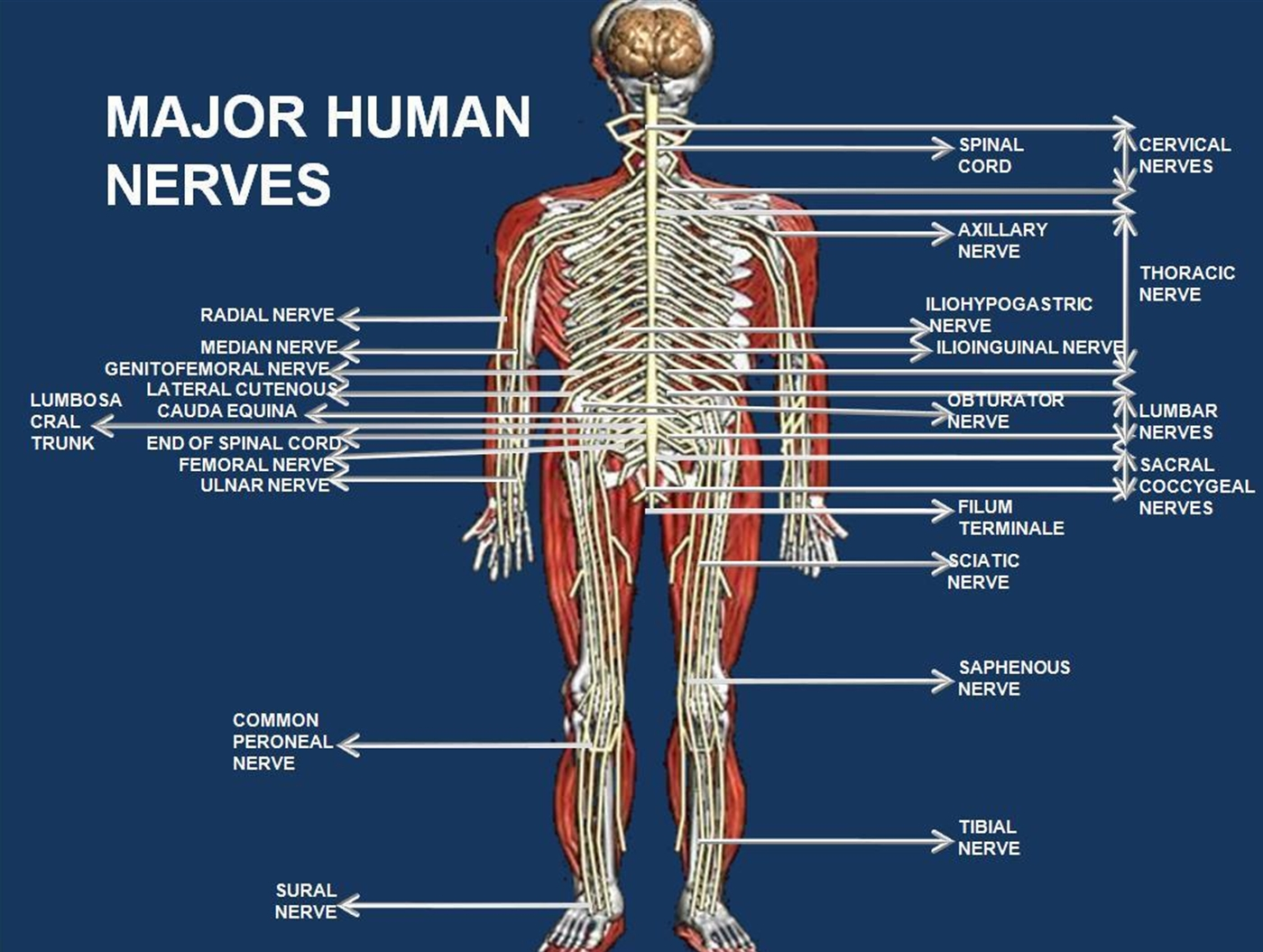 nerves for the actual human being body