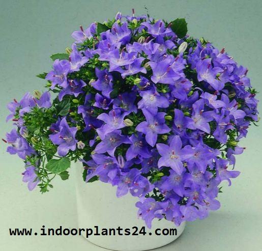 Campanula Isophylla indoor house plant