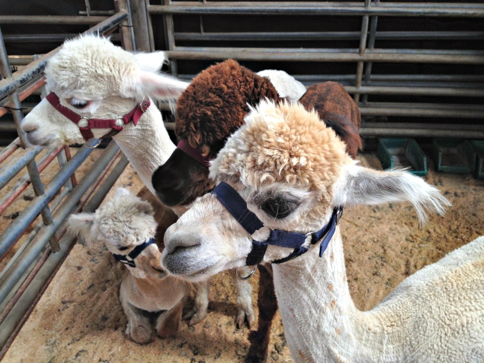 alpacas at woolfest