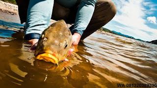 Umpan Serbuk Ikan Mas Di Jamin Menang Banyak