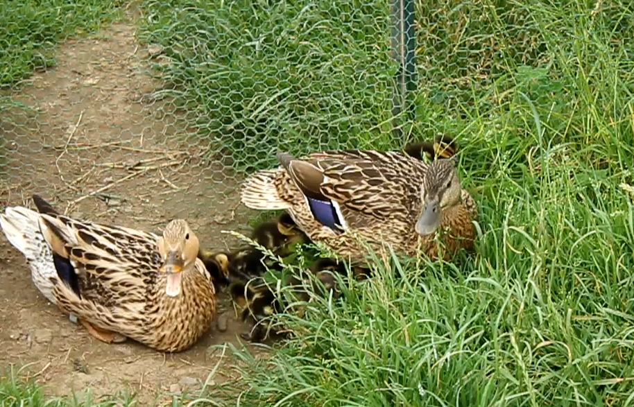 Mother ducks and ducklings