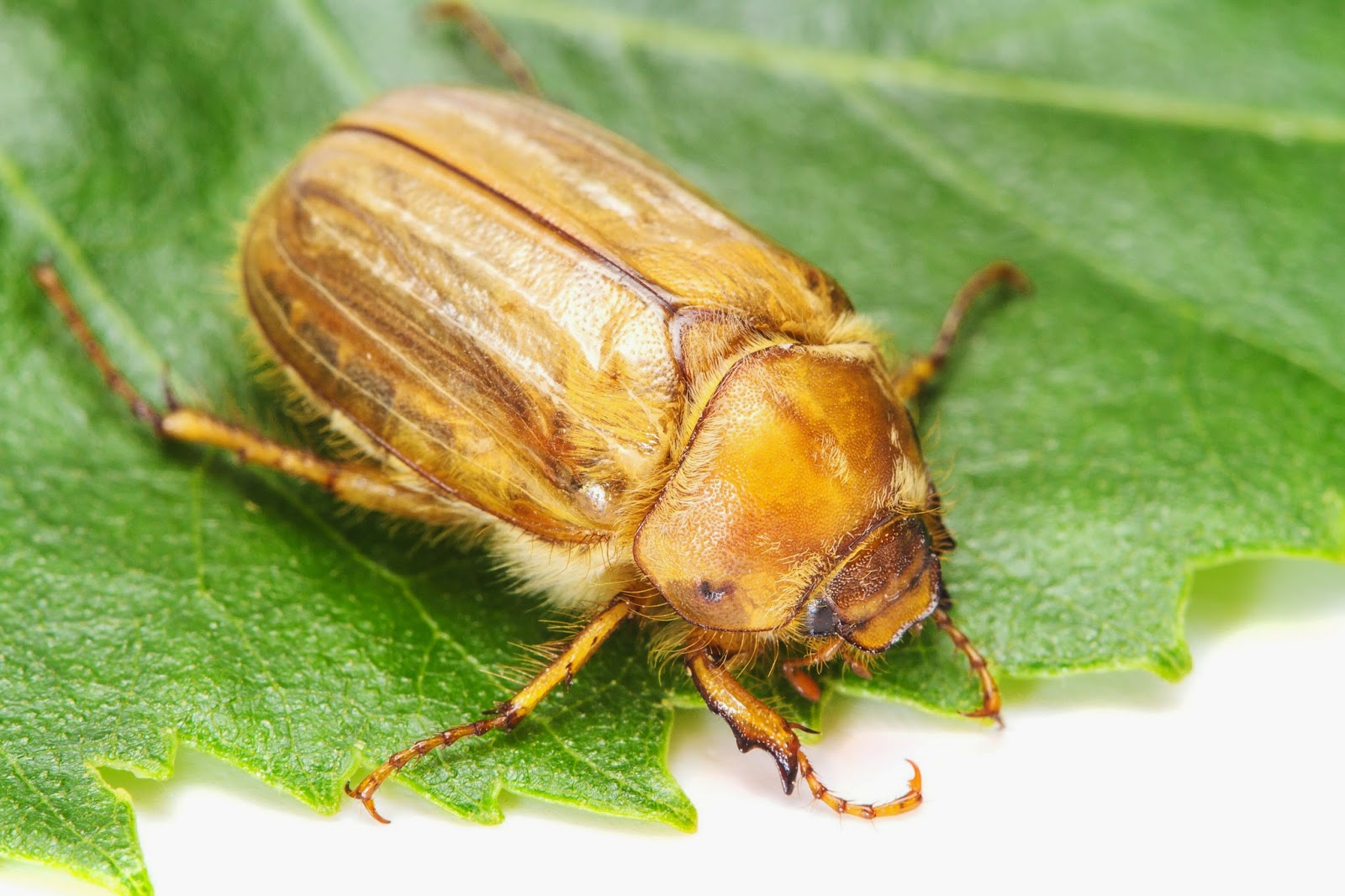 june bug Little brown beetles famous for thier incesant bumping into porch lights and houses on a late spring to summer evening often tries to sneak into houses, either by flying right in when the door is open, or by hitching a ride on somebody's clothes like a little ninja.