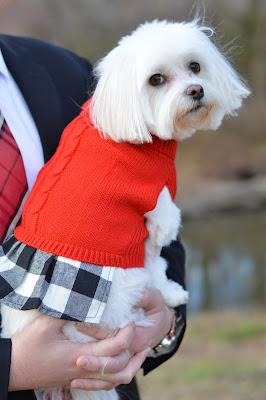cute-morkie-christmas-dress
