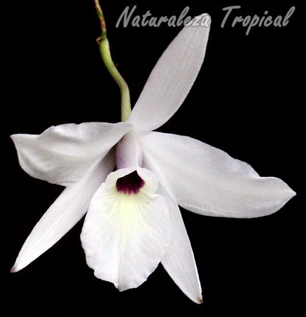 Foto de la floración de la Flor de Colmena, Laelia rubescens