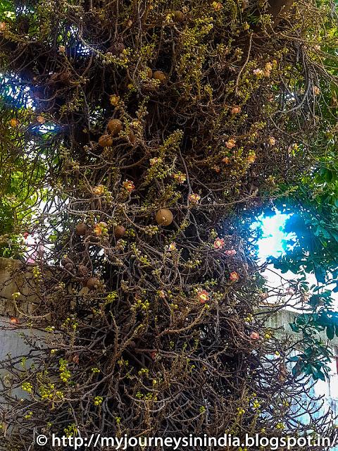 Old Naga Lingam Tree at Sri Someshwara Swamy Temple, Bangalore