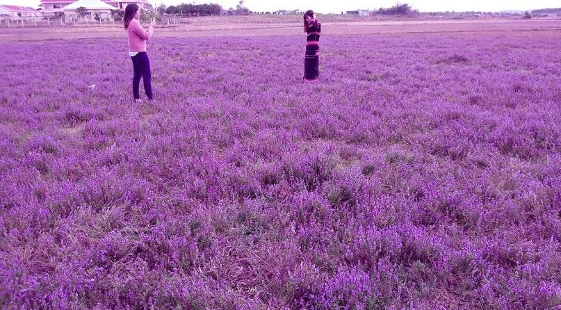 """Giới trẻ Gia Lai mê mẩn với cánh đồng hoa tím """"đẹp cực lạ"""""""