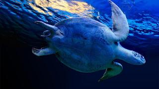 Zwemmende schildpad
