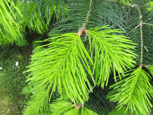 Nuova Vegetazione Conifere