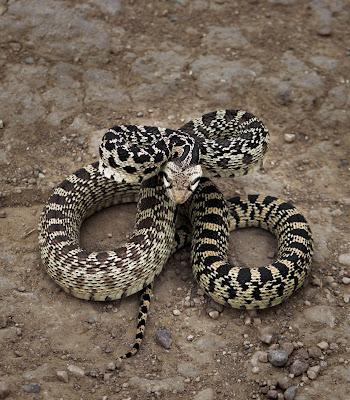 Serpent in the wilderness