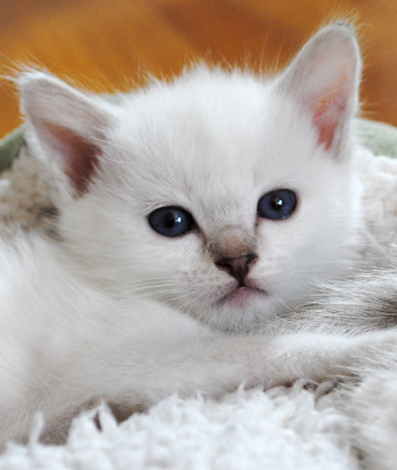 Siamese/Balinese Kittens For Sale | Baliwest