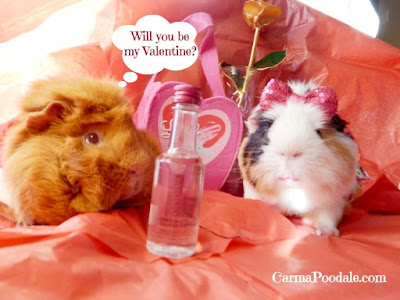 Boy Guinea Pig asking girl guinea pig to be his Valentine