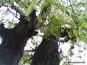 Pohon beringin konon kawasan kesukaan genderuwo terutama beringin yang  sudah bau tanah dan memil 7 Pohon Tempat Tinggal Favorit Hantu