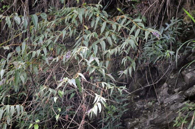 福星花園: 彎花醉魚木