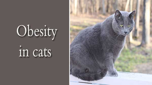 why is my cat fat?