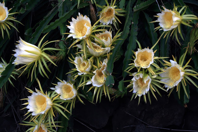 Hylocereus_undatus_flower-dragon%2Bfruit