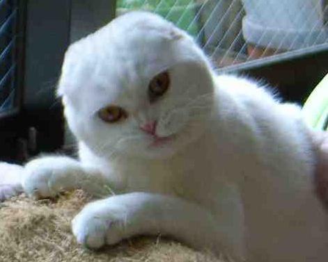 Koty Kotki Kociaki Kocie Rasy Szkocki Fold