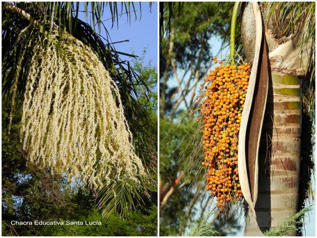 Flores de la pindó y racimo de sus frutos pronto para la cosecha - Chacra Educativa Santa Lucía
