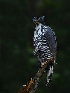 Elang Gunung (Blyth's Hawk-Eagle)