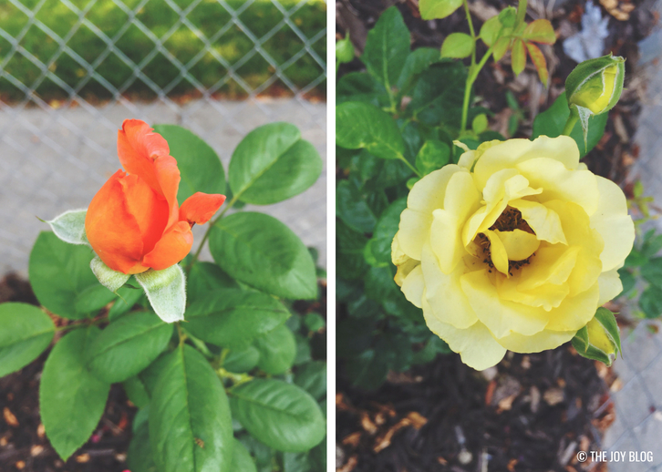 ROSES // A Bee Friendly Flower Bed - Update | www.thejoyblog.net