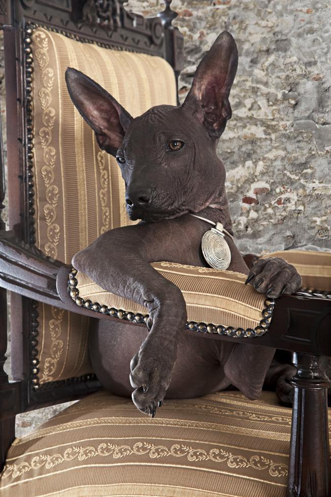 Psy rasy Nagi pies meksykański