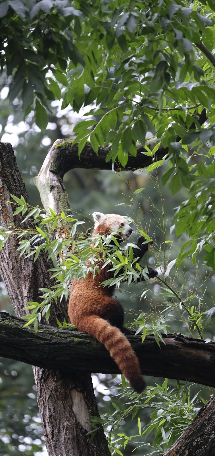 A red panda eating leaves.
