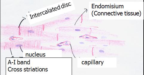 histology of circulatory system pdf