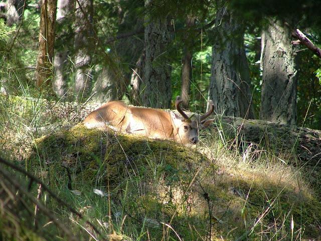Buck in Velvet on Jones Island