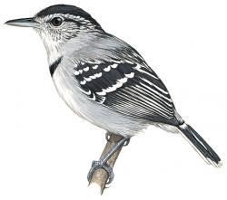 Herpsilochmus pectoralis