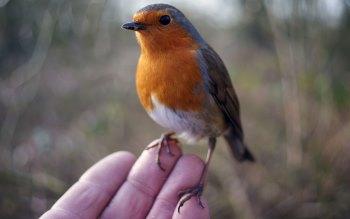 Wallpaper: Friendly Robin Bird