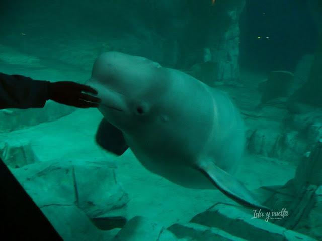 Oceanogràfic Valencia con una de las belugas